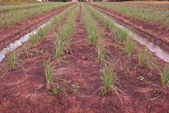 Lemon grass field cultivation, Thailand royalty free stock images