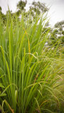 Lemon grass. Green of lemon grass leaves in the garden stock image