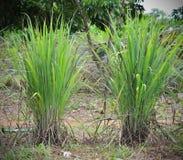 Lemon grass. Green of lemon grass leaves and sunlight royalty free stock photo