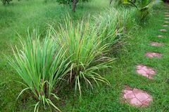 Lemon grass. Or Cymbopogon citratus, Herb , Thailand stock photo