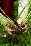 Lemon grass - Perennial plants transplanting Stock Photo