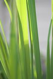 Lemon grass plant. Leaves of a lemon grass plant Royalty Free Stock Photos