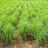 Lemon grass plant. North East of Thailand Royalty Free Stock Photos