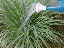 Lemon grass plant. A lemon grass plant being watered down using a watering can Royalty Free Stock Photos