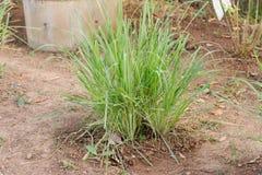 Lemon grass plantation in garden.Lemon grass one of thai ingredi Royalty Free Stock Image