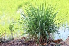 Lemon grass plantation nature. The lemon grass plantation nature stock photo