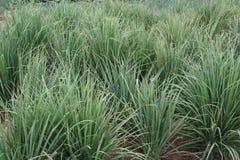 Lemon Grass Plants. Growing on a farm in Vietnam. Lemon grass is a popular food ingredient stock photo
