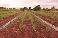 Lemon grass in production field. Common food ingredient in Thai foods and asian foods royalty free stock photo