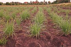 Lemon grass in production field. Common food ingredient in Thai foods and asian foods stock images