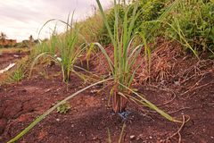 Lemon grass in production field, fertilier applied. Lemon grass in production field, common food ingredient in Thai foods and asian foods stock image