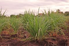 Lemon grass in production field. Common food ingredient in Thai foods and asian foods royalty free stock images