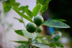 Lemon green Stock Photo