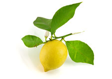 Lemon and green leaf Stock Photography