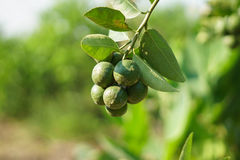 Lemon green lime tree. In the farm stock photo