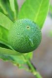 Lemon green Royalty Free Stock Image