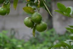 Lemon green three Stock Image