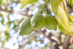 Lemon. Green lemon on tree, citrus Stock Image