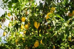 Lemon Grove Arkivfoton