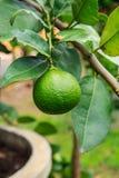 Lemon Grove Immagini Stock Libere da Diritti