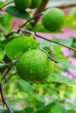Lemon Grove Fotografie Stock Libere da Diritti