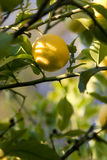 Lemon Growing Stock Photography