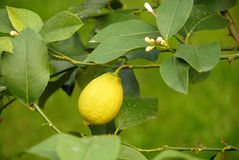 Lemon growing on branch Royalty Free Stock Photos