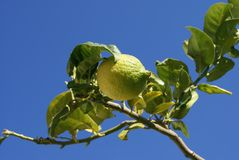 Lemon growing on a branch Royalty Free Stock Images