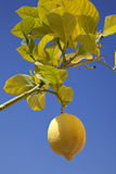 Lemon growing in the sun Stock Images
