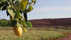 Lemon growing on tree. Beautiful lemon growing on lemon tree ,sunny and windy day , lemon branch with green leaves , in the background plowed field , blue sky stock video footage