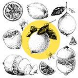 Lemon. Hand drawn illustrations of beautiful yellow lemon fruits vector illustration