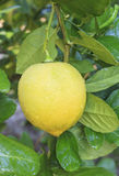 Lemon hanging on lemons tree Royalty Free Stock Photography