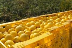 Lemon harvest. Freshly picked lemons in crates Stock Photo