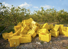 Lemon harvest Stock Images