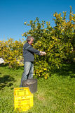 Lemon harvest Royalty Free Stock Photos