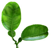 Lemon Leaf Royalty Free Stock Photos