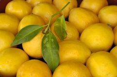Lemon with leaf & Friends. Freshly picked lemon with leaf in bowl of lemons (soft focus on outer lemons Royalty Free Stock Images