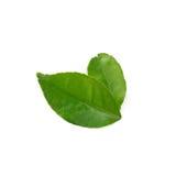 Lemon leaf isolate on white background (Lime's leaf) Stock Images