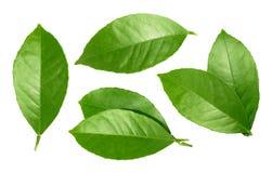 Lemon leaf isolated on white background Stock Photos