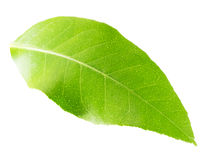 Lemon leaf isolated on the white background royalty free stock photo