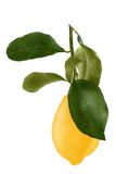 Lemon with leaf isolated on white background. Lemon isolated on white background as package design element. Healthy eating royalty free stock photos
