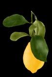 Lemon with leaf isolated on white background. Lemon isolated on white background as package design element. Healthy eating royalty free stock image