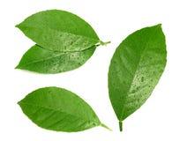 Lemon leaf isolated on white background Royalty Free Stock Photography