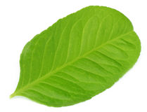 Lemon leaf Stock Image