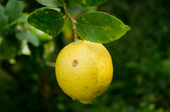 Lemon and leaf Royalty Free Stock Photography