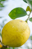Lemon and leaf. Yellow Lemons growth on a lemon tree Stock Images