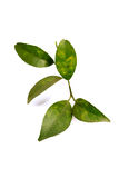 Lemon leaves Royalty Free Stock Images