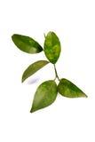 Lemon leaves Royalty Free Stock Images