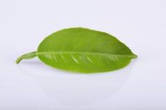 Lemon leaves Stock Images