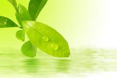 Lemon Leaves Stock Photos