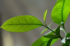 Lemon leaves on branch Royalty Free Stock Image